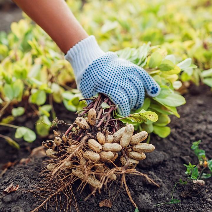 Bio Erdnüsse